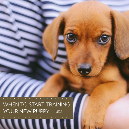 When-to-start-training-your-new-puppy--500x500-px.png