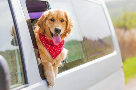Dog with bandana hanging out of a car window